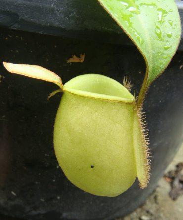 N. ampullaria 'Green'